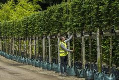 Wykeham Mature Plants is a commercial plant nursery specialising in instant hedging plants, mature trees and large shrubs. Privacy Trees, Backyard Privacy, Backyard Garden Design, Garden Landscape Design, Garden Hedges, Garden Fencing, Garden Trees, Landscaping Tools, Front Yard Landscaping