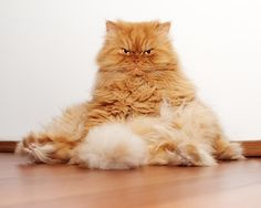 Meet Garfi, the Angriest Cat in the World