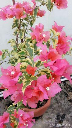 39 Best Bunga Kertas Images Bougainvillea Plants Flowers