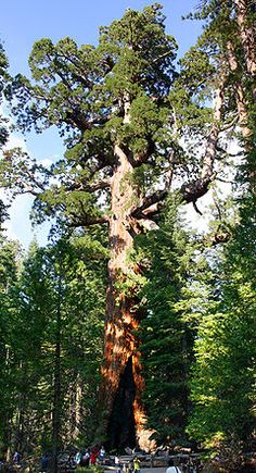 Sequoiadendron giganteum - Giant sequoias are the world's largest trees by volume. The oldest known giant sequoia based on ring count is 3,500 years old. They occur naturally only in groves on the western slopes of the Sierra Nevada Mountains of California.