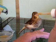 Handfeeding a 6 week old canary
