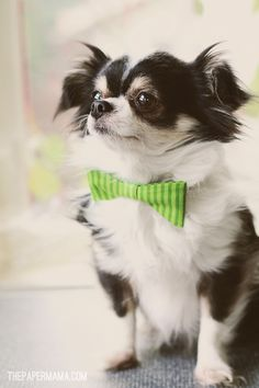Mr. Angus the Chihuahua. Handsome dog. http://thepapermama.com/2012/03/mr-angus.html