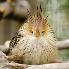 ~~Monday cuckoo ~ Guira cuckoo by DeeOtter~~