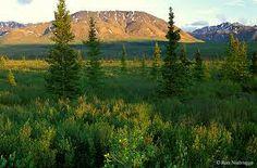 La taiga está dominada por coníferas que superan los 40 m, de copa piramidal y hoja perenne, destacando los alerces, abetos, píceas y pinos. El alerce de Gmelin tolera los inviernos más fríos al norte. La taiga del norte es el bosque con menor biodiversidad, con dosel abierto y en sus suelos predominan los líquenes.