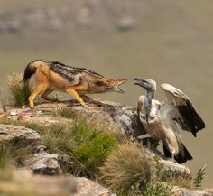 """beautiful-wildlife: """" Dispute by Usher Bell 2009 Cape Vulture and Silverstriped Jackal fighting for food """""""