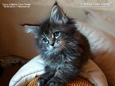 Carry of Maine Coon Castle 7 Wochen alt, 1051g - Maine Coon Baby