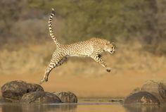 #Cheetah, visit https://www.facebook.com/simplyBeautifulnature