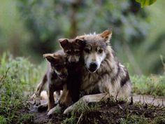 wolves' family portrait..