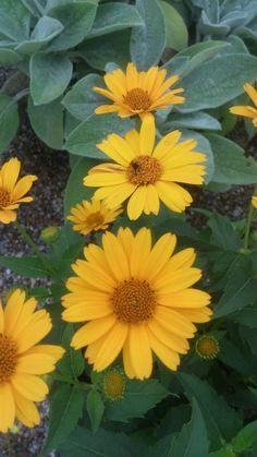 Heliopsis 'Tuscan Sun'. Tuscan Sun False Sunflower.