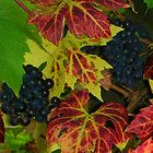 Spetchley Red Grape - Ornamental