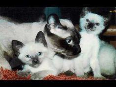 Cats 101 Siamese | colorpoint shorthair kitten 01