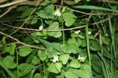 Knoblauchsrauke – Alliaria petiolata | Katuschka´s Celticgarden