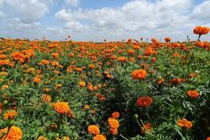 Learn how to plant, grow, and care for marigold flowers with this garden guide. Including everything from planting marigold seeds to deadheading flowers. Marigolds In Garden, Growing Marigolds, Hydrangea Garden, Flowers Garden, Annual Flowers, Big Flowers, Carnation Plants, Deadheading Flowers, Fall Vegetables