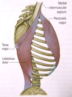 latissimus dorsi and pectoralis major working together Body Diagram, Latissimus Dorsi, Musculoskeletal System, Hand Massage, Muscular System, Ties That Bind, Muscle Anatomy, Massage Techniques, Anatomy Reference
