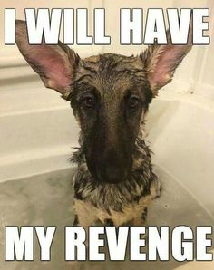 Wicked Training Your German Shepherd Dog Ideas. Mind Blowing Training Your German Shepherd Dog Ideas. Cute Funny Animals, Funny Animal Pictures, Dog Pictures, Funny Dogs, I Love Dogs, Cute Dogs, Animals And Pets, Baby Animals, German Shepherd Puppies