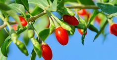 Did you know the Goji Berry is a delicious fruit filled with vitamins, minerals & amino acids? Enjoy our refreshing Get Up & Goji Smoothie and enjoy all of the Goji Berry nutritional benefits! Tropical Smoothie Cafe, Cape Gooseberry, Best Superfoods, Berry Plants, Easy Care Plants, Slim Diet, Types Of Roses, Nutritious Snacks, Vitamins