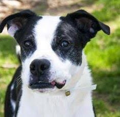 Adopt Brutis a 6 year old Boxer mix dog at Wayside Waifs in Kansas City - Tuesday's Tails