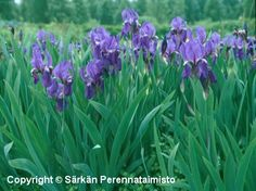tarhakurjenmiekka - Iris germanica Flower Garden Plants, Lilac Flowers, Perennial Bulbs, Flowers, Iris, Perennials, Plants, Planting Flowers, Fall Plants