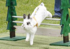 Some of them can even be trained to enter in jumping competitions. | 21 Reasons Why Bunnies Are Actually The Best Pets