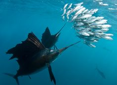 THE SAILFISH CHALLENGE: FEBRUARY 5-8  - The Sailfish Challenge has rapidly developed as one of the most widespread and perhaps the largest Sailfish tournaments in the nation. The Sailfish Challenge is returning for another competition starting on February 5-8, 2015 in Fort Lauderdale, Florida.