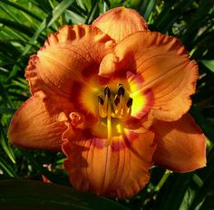 Photo of Daylily (Hemerocallis 'Bakeapple Jam') uploaded by Calif_Sue