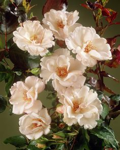Rose 'Margaret Merrill' • Rosa 'Margaret Merrill' • Plants & Flowers • 99Roots.com