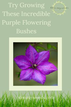 Blessmyweeds.com is the best resource for all things green. Become a master with tips for growing and keeping healthy plants. Check out these beautiful purple flowering bushes that will look great in your garden! Purple Flowering Bush, Flowering Bushes, Lilac Bushes, Big Flowers, Spring Flowers, Beautiful Flowers, Full Sun Landscaping, Wisteria Plant, Purple Orchids