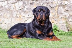 Roman Rottweiler, Long Haired Rottweiler, Rottweiler Names, Rottweiler Breed, Scandinavian Names, Dog Breed Info, New Funny Videos, Cool Names, Large Dogs