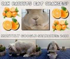 Rabbits can safely eat oranges as an occational treat, just like with any other sugary fruit. The orange peels are also safe to eat in small amounts, just be. Rabbit Diet, Rabbit Eating, Rabbit Food, Can Rabbits Eat Oranges, Ask A Vet, Raising Rabbits, Meals For One, Bunnies, Make It Yourself