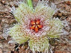 ¿Cómo una planta de apariencia tan tosca y, en cierto sentido, agresiva puede tener flores tan espléndidas? ¡Porque es preciosa!