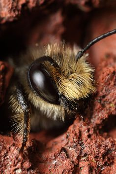 Home is a hole in the wall - mason bee