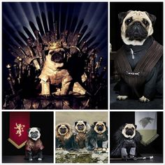 I don't know what these pugs are doing but they seem to all have very high self esteems lol/ Мопсы — косплей на тему сериала Игра престолов