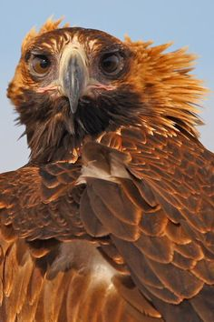 Image of: Ostrich Wedge Tailed Eagle Little River Paul Randall Pinterest 451 Best Hawks Owls Swans Ravens Crows Images Beautiful Birds