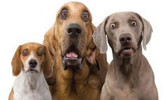 You see surprised dog faces rarely. Hilarious dog faces that will make you laugh. Love My Dog, Puppy Love, Funny Dogs, Funny Animals, Cute Animals, Funny Memes, Funny Quotes, Hilarious Jokes, Silly Dogs