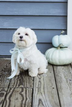 Maltese wearing bow, pastel pumpkins, :Too Cute To Spook ©Alice G Patterson Photography, Syracuse Dog Portraits
