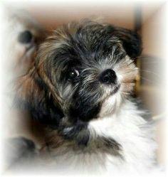 Havanese puppy 'Luna' - photo made by Anne-Fieke Later