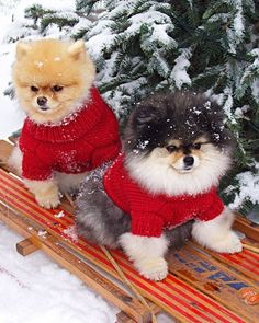 Dogs Christmas sledging in the snow