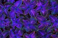 Bring color to your home by learning all about the different types of Coleus flowers so you can find the best one to grow as a houseplant and enjoy its colorful foliage. Container Flowers, Container Plants, Container Gardening, Urban Gardening, Outdoor Plants, Garden Plants, House Plants, Potted Plants, Bamboo Landscape