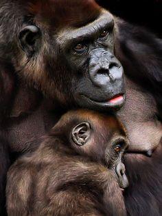 Goryle są bardzo inteligentne i odczuwają podobne emocje jak ludzie: strach, smutek a także radość i miłość. To widać : )