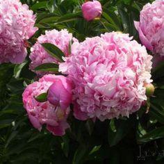 Paeonia lactiflora - Pioen in de Digituin. Paeonia Lactiflora, English Roses, Garden, Flowers, Plants, Carnations, Garten, Lawn And Garden, Flora