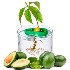 Raise the success rate of germination to grow your own avocado tree with this AvoSeedo bowl. Just insert the seed from Avocado (to properly insert you can use Avocado Slicer), place it into the AvoSeedo and put them into a water filled pot. The AvoSeedo will remain floating to always keep connected with the water for a successful germination. It's an easier process with better germination rate than toothpick method.