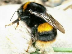 The susceptibility of other species of bumblebee, or indeed other wild pollinators, to spillover of honey bee diseases is, as yet, unknown. Description from blogs.biomedcentral.com. I searched for this on bing.com/images