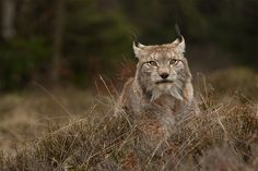 European Lynx Sitting Behind a Rugged Wall of Fall Brush. (by Milan Zygmunt).