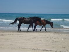 Wild horses of the Outer Banks, part of the Corolla herd (photo by Rachael, via Flickr)