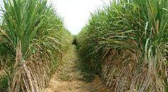 Fire Destroys Hectares Of Sugarcane In Kebbi