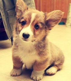 Corgi Puppy. I want him! Christmas 2014 stocking stuffer. Cough cough Braden!