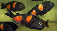 Lake Tanganyika cichlid, Tropheus bulu (Black point)