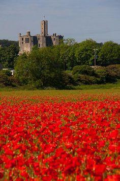 Poppy field at Warkworth Castle Northumberland UK