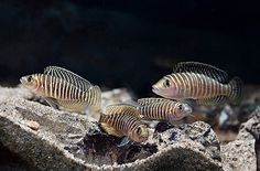 Neolamprologus similus - another good shot of what I want