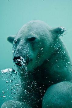 Bear Photos, Bear Pictures, Animal Pictures, Polar Bears International, Wild Animals Photography, Earth Song, Ursa Major, Dog Stories, My Spirit Animal
